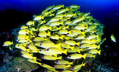 ดำน้ำดูฝูงปลา หมู่เกาะสิมิลัน พังงา
