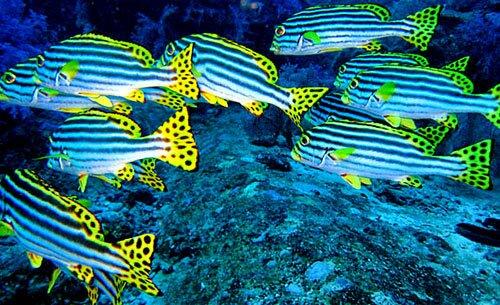 ฝูงปลา หมู่เกาะสิมิลัน พังงา