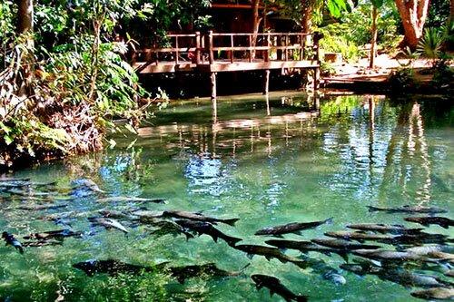 ฝูงปลาพลวง แวกว่าย อุทยานแห่งชาติถ้ำปลา น้ำตกผาเสื่อ