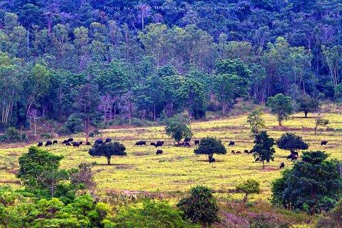 ฝูงกระทิงป่า ทุ่งหญ้า อุทยานแห่งชาติกุยบุรี