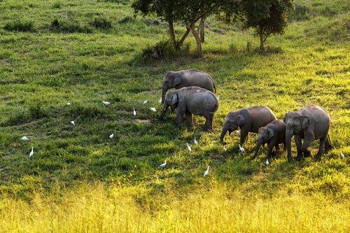 ช้างป่า ทุ่งหญ้า อุทยานแห่งชาติกุยบุรี