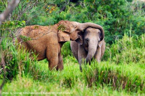ช้างป่า อุทยานแห่งชาติกุยบุรี